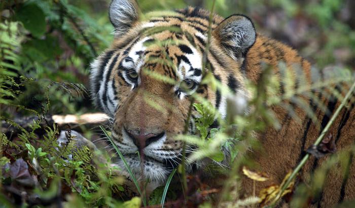 Zov_tigra